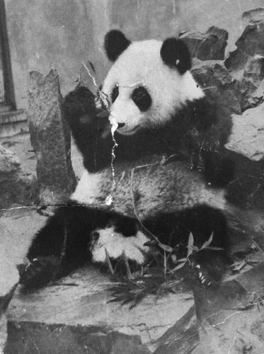 Панда Пинь-Пинь в Московском зоопарке. 1957. Страница из журнала